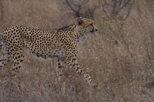 Eén van de twee cheetahs