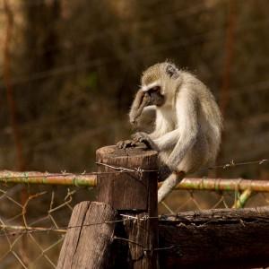 Vervet monkey met jeuk
