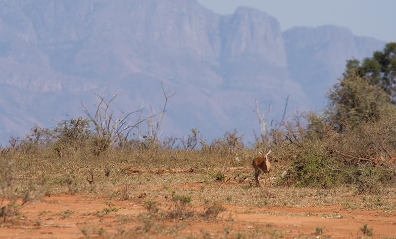 Steenbok met op de achtergrond de noordelijke uitlopers van de Drakensbergen