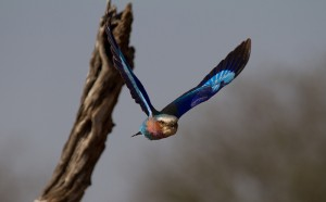 Lilac-Breasted Roller in de vlucht