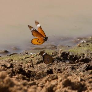 Twee vlinders (we hebben nog geen insecten gehad)