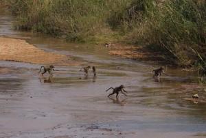 Bavianen op de Makhutswi-rivier