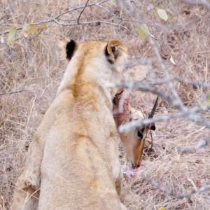 Vrouwtjesleeuw met Impala-kop