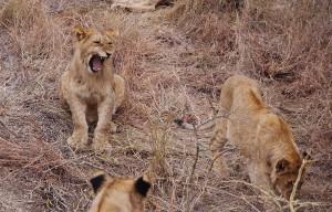 De zes andere leeuwen moeten wachten op hun beurt