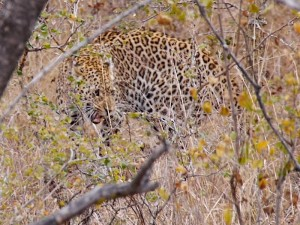 Moeder luipaard op het moment dat de leeuwen verschenen