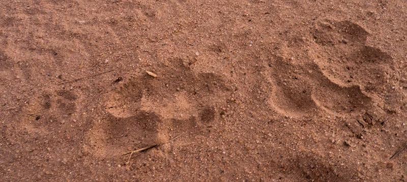 Hyenasporen.... voor de oplettende kijker; linksdaarnaast nog een pootafdruk van een jakhals.