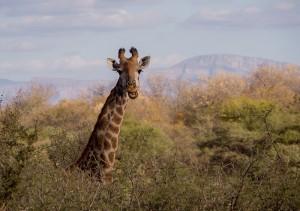 Giraf trekt een gekke bek