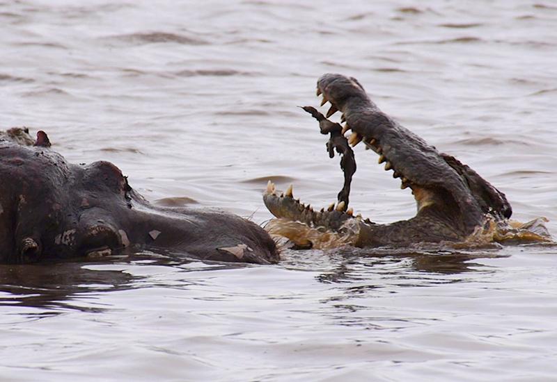 Een enorme krokodil duikt op na een 'death roll'