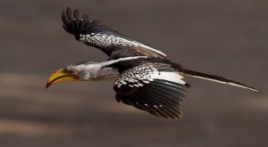 Yellowbilled Hornbill in de vlucht