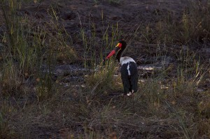 Een van de Saddlebilled Storks