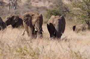 Olifanten komen langzaam onze kant op