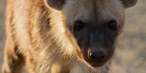 Hyena op de weg