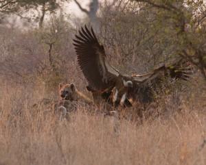 Hyena met White-Backed Vulture