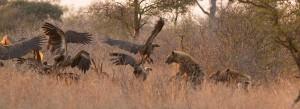 Hyena jaagt de gieren van het karkas
