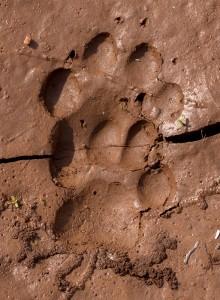 Perfecte sporen van een African Civet; zie hoe deze zijn achterpoot op de plaats van zijn voorpoot zet