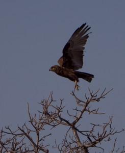 ... gevolgd door een Brown Snake-Eagle.