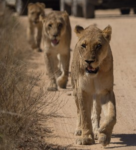 Prijsvraag: hoe kan het dat als je links in de auto zit deze leeuwen toch rechts passeren?