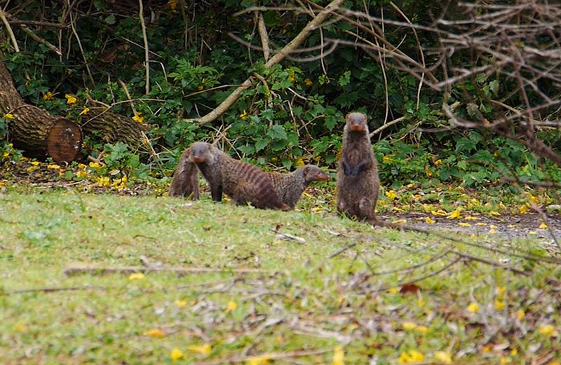 Mongoose in de kenmerkende pose