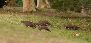 De Banded Mongooses (Mongeese?) in de tuin van onze lodge