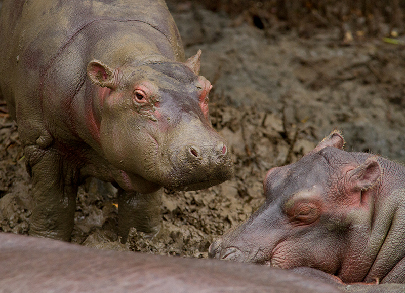 Nijlpaard-jong