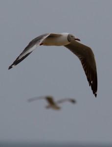 Grey-Headed Gulls op het strand van Cape Vidal