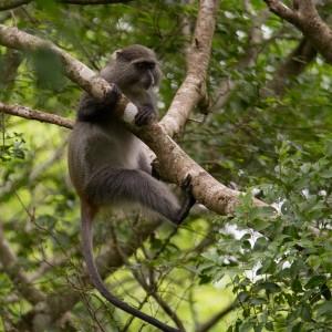 De Sykes' Monkey is naast de Vervet de tweede Monkey die je in Zuidelijk Afrika kunt vinden