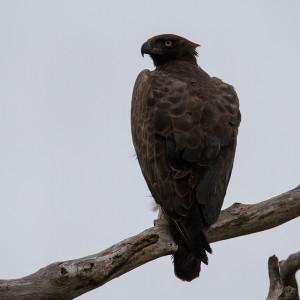 Martial Eagle, een joekel van een roofvogel