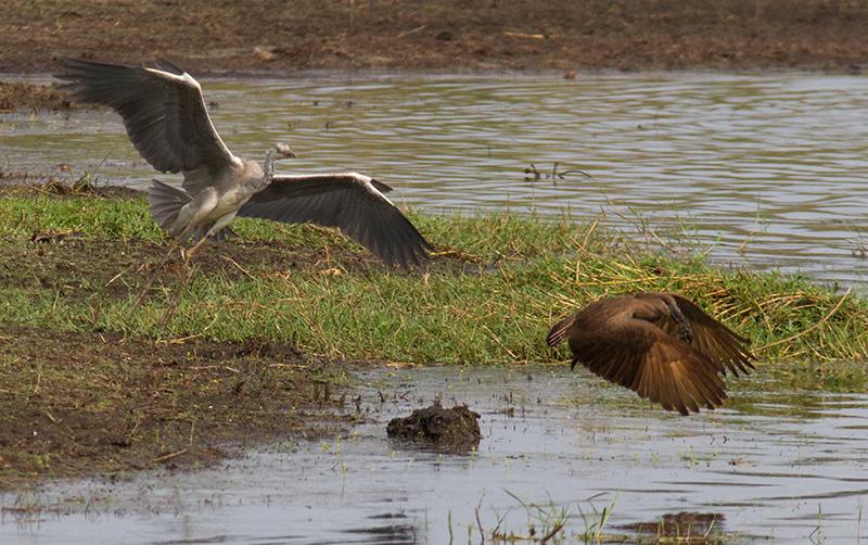 Reiger probeert kikker te stelen van hamerkop