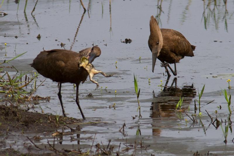 Uiteindelijk kan de vrouwtjes-hamerkop de kikker opeten, gadegeslagen door het mannetje