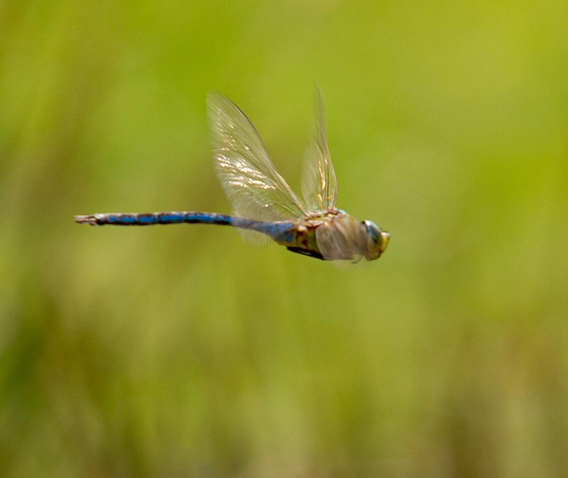 De nieuwste uitdaging: Dragonflies en/ of Damsellflies in de vlucht...
