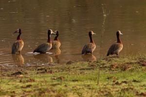 Whistling Ducks (ze fluiten echt)