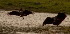 Quizvraag van vandaag; wat is de roep van de Hadida-Ibis?
