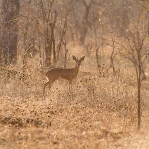 Steenbok in het ochtendlicht