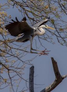 Grey Heron landt