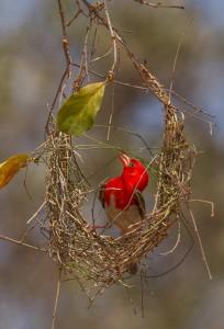 Red-Headed Weaver begint aan zijn nest