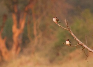 Brown-hooded Kingfishers
