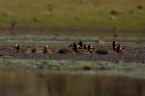White-faced Whistling Ducks vanaf lage positie, met dank aan Cobus voor de tip