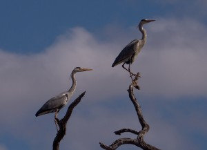 Twee Grey Herons in de boom...