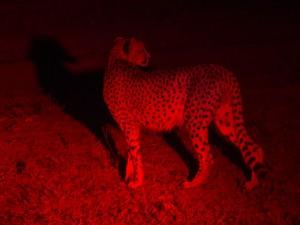 Cheetah in het rode licht