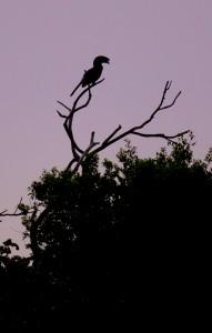 Silhouet van een Trumpeter Hornbill