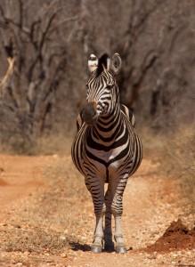 Zebra blokkeert ons de doorgang