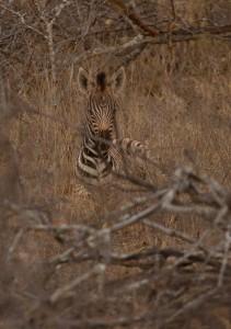 Een Zebra-veulen...