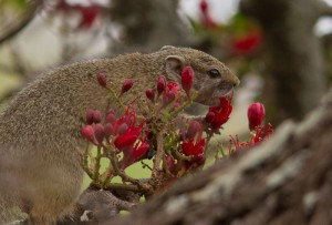 Tree Squirrel (eekhoorn)