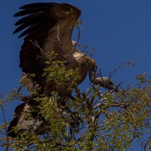 White-backed Vulture landt op het nest