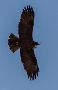 Wahlberg's Eagle verzamelt nestmateriaal