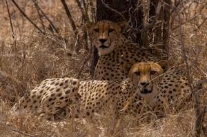De twee mannetjes Cheetahs