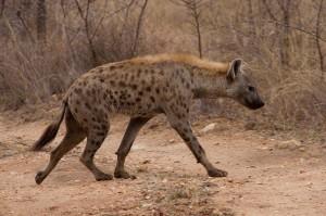 Hyena on a mission