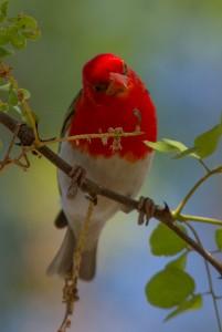 Red-headed Weaver vraagt zich af wanneer ik weer ophoepel zodat hij terug kan naar zijn nest