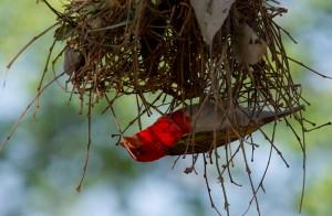 Hij is bezig met zijn tweede nest....