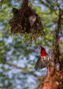 Het mannetje vliegt aan met vers bouwmateriaal